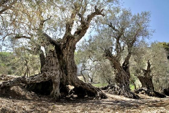 Lebanon Olive Trees of noah sisters Bechaaleh Lebanon
